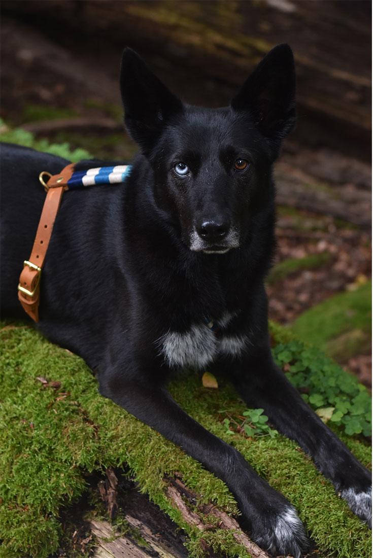 Hund mit Hundegeschirr von Liebesband