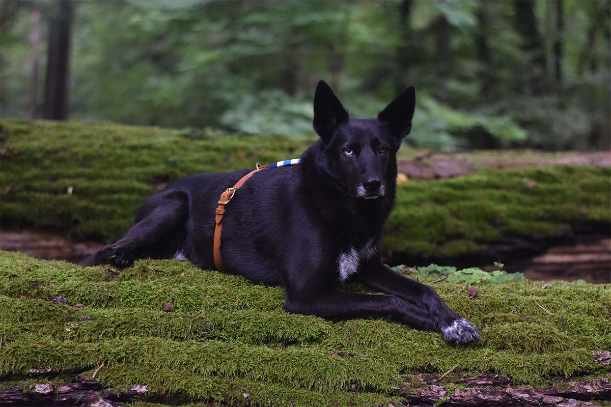 Hund mit Hundegeschirr von Liebesband im Wald